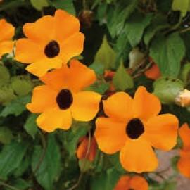 Černooká Zuzana – Thunberg ia New Orange