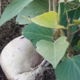 Povijnice zelená – Ipomea Batatas – Electra White