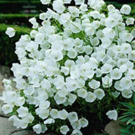 Zvonek nevěsta – Campanula Isophylla