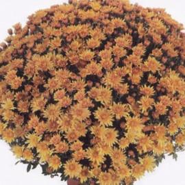 Multiflora – oranžová