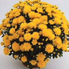 Multiflora – Pavla