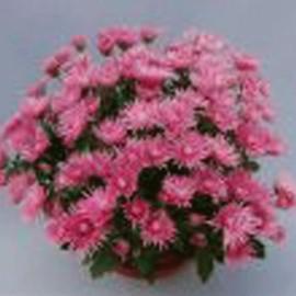 Multiflora – Rosina