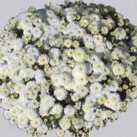 Multiflora – bílá