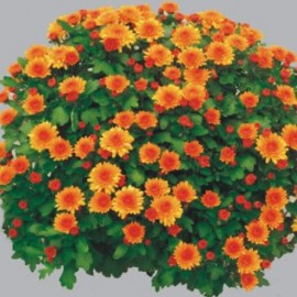 Multiflora – Vilma