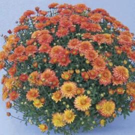 Multiflora – Zdeňka