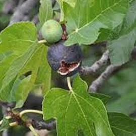 Fík – Ficus carica
