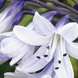 Agapanthus – Silver Baby