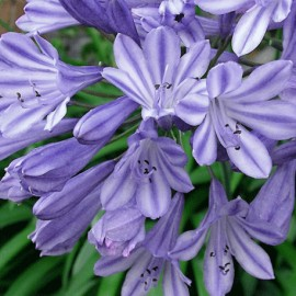 Agapanthus – Ethels Joy