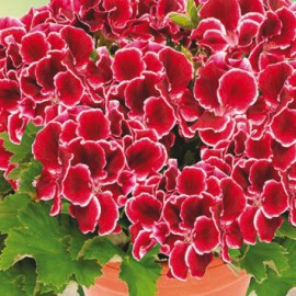 Aristo Red Beauty – Grandiflorum