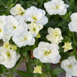 Million Bells – Calibrachoa – bílý