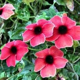 Černooká Zuzana- Thunbergia alata růžová