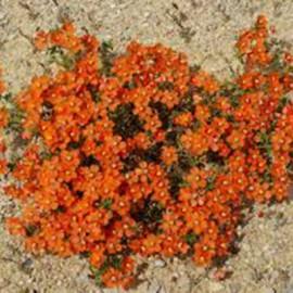 Anagallis moneli- oranžový