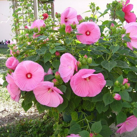 Ibišek bahenní-Hibiscus x moscheutos- růžový
