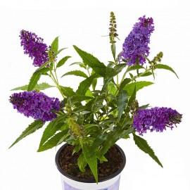 Buddleja cultivars, Motýlí keř, Letní šeřík miniaturní, modrý