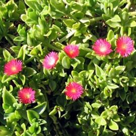 Apténie srdčitá-Apténik cordifolia