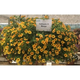 Million Bells – Calibrachoa