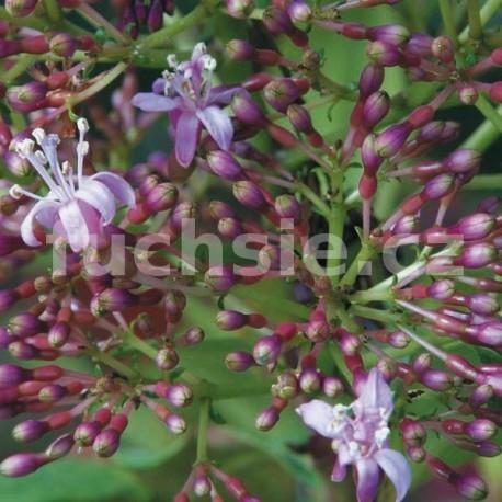 Arborescens Fuchsie