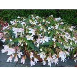 Begonia Boliviensis - bílá (Begonie)