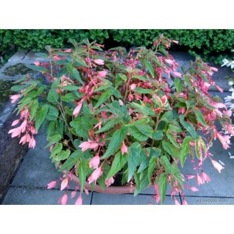 Begonia Boliviana - růžová (Begonie)