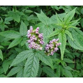 Cedronella canariensis- Cedronela kanárská