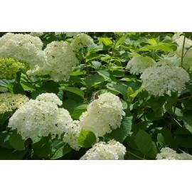 Hydrangea Schneeball- Hortenzie velkolistá