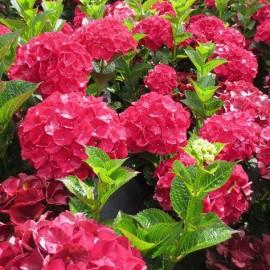 Hydrangea Silk  Pink Blue- Hortenzie velkolistá