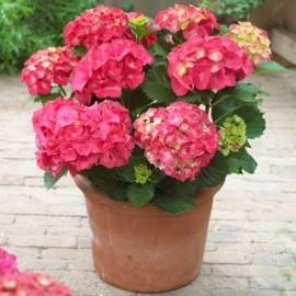 Hydrangea Red Power- Hortenzie velkolistá