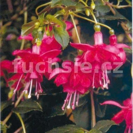 Blaze Away Fuchsie (Šl. Roy Sinton, GB, 1995)