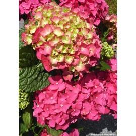 Hydrangea Blue Power Pink- Hortenzie