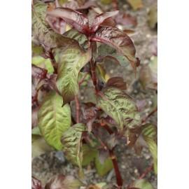 Persicaria Hydropiper. var. rubra- Hadí kořen(rdesno)