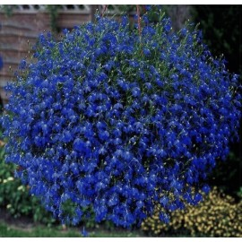 Lobelka převislá- modrá