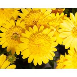 Osteospermum žluté plné
