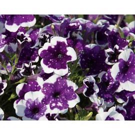 Petunia AlpeTunin Glac.Sky-převislá