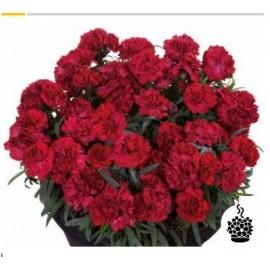 Hvozdík Dianthus   caryophyllus (hvozdík)-červený