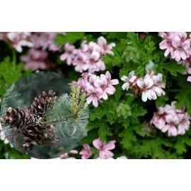 Pelargonie Grandeur- s vůní borovice
