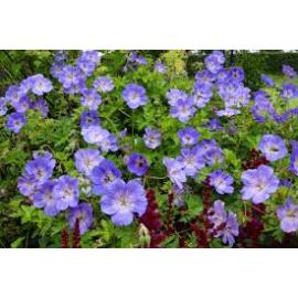 Geranium Hybridum Azure Rush- Kakost