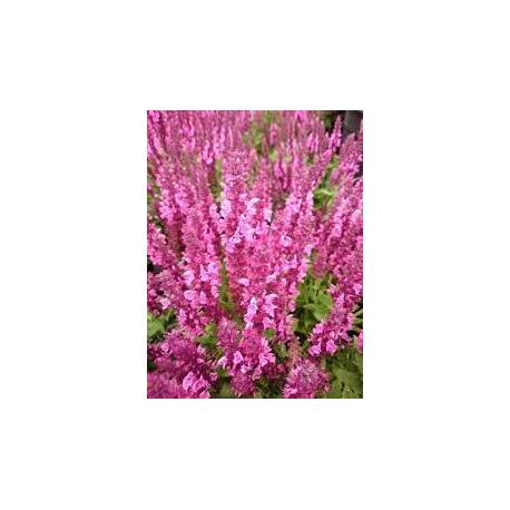 Salvia Nemorosa Šalvěj (šalvěj )