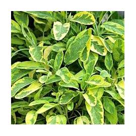 Šalvěj  lékařská- Salvia officinalis Salbei Goldblatt-šalvěj zlatá