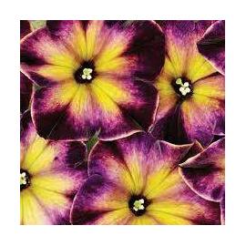 Petunia Crazytunia Moonstruck- Převislá petunie
