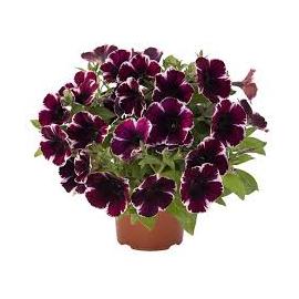 Petunia Sweetunia Miss Marvelous