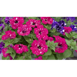 Petunia Surprise Sparking Red