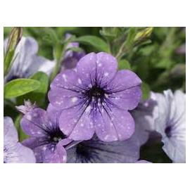 Petunia  family  Lavander Sky
