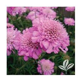 Scobiosa columbaria Pink Mist- Hlaváč růžový