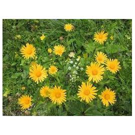 Buphthalmum salicifolium Goldem Yellow- Volovec vrbolistý,Volské oko
