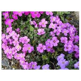 Tařička -Aubretia 'Axcent Antique Rose'