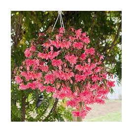 Begonie Boliviensis plnokvětá, růžová