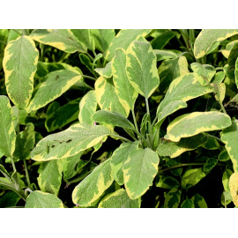 Salvia officinalis-šalvěj lékařská,panašovaná