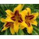Hemerocallis Bonanza-Denivka žlutá vínový střed