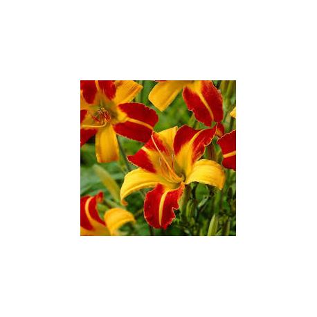 Hemerocallis Frans Hals- Denivka