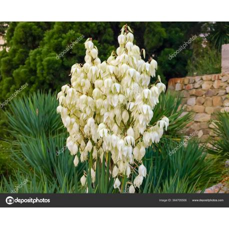 Yucca Filamentosa- Juka vláknitá